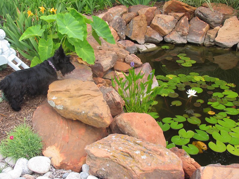 Belle Loves to watch the KOI, she'd like to jump in and catch them!! She rides in the cart at Petsmart and tries to catch fish through the glass of the tank!<br /> <br /> Green Acres Garden - Linda's Bonnie Scots - Princeton Texas