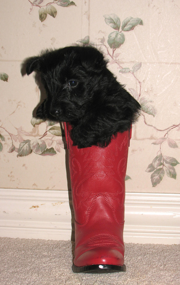 Kelsey's puppy from her first litter born Dec 20, 2005<br /> <br /> Nessie was her nickname, now the Merriwether family calls her GADIE!! Green Acres Garden - Linda's Bonnie Scots - Princeton Texas