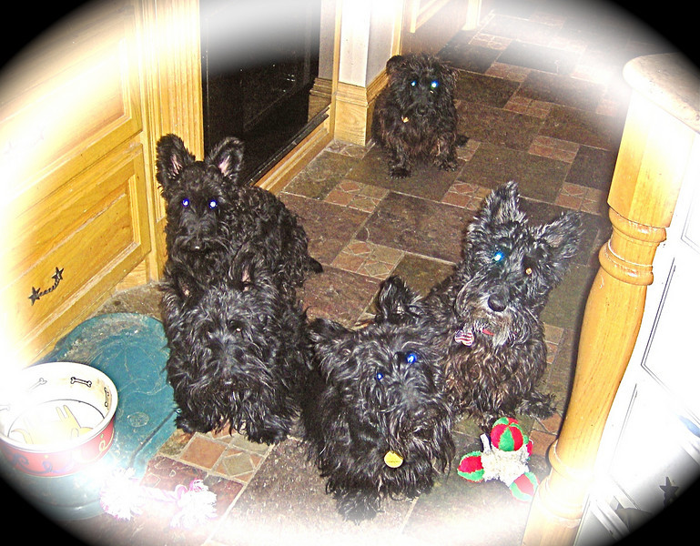 5 Scotties that all need a haircut!! I have a lot of company when I cook and eat!! <br /> <br />  Green Acres Garden - Linda's Bonnie Scots - Princeton Texas