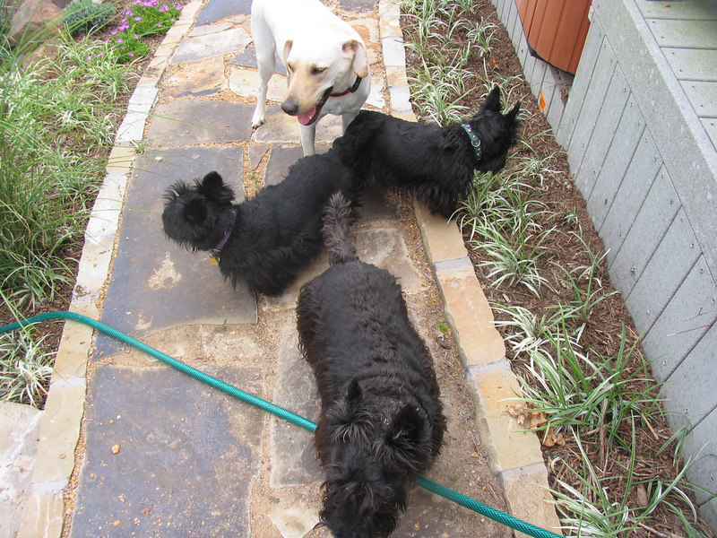 Front - Max <br /> Middle - Belle<br /> Right back - Kelsey (Max and Belle's daughter)<br /> Buster the Lab pulls up the rear. Green Acres Garden - Linda's Bonnie Scots - Princeton Texas