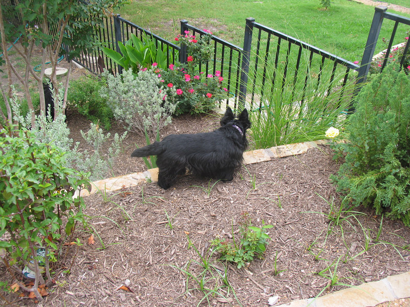 Belle still doing her rounds!! This dog is so smart!!!! She never misses anything!! <br /> <br /> Green Acres Garden - Linda's Bonnie Scots - Princeton Texas