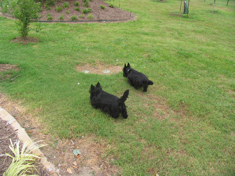 Kelsey and her Mommy Belle look like they have picked up a scent, no end of Scottie fun in our big yard with the surrounding Corps land and wildlife!! I just thank the good Lord that they have never found a poisonous snake... <br /> <br /> Green Acres Garden - Linda's Bonnie Scots - Princeton Texas