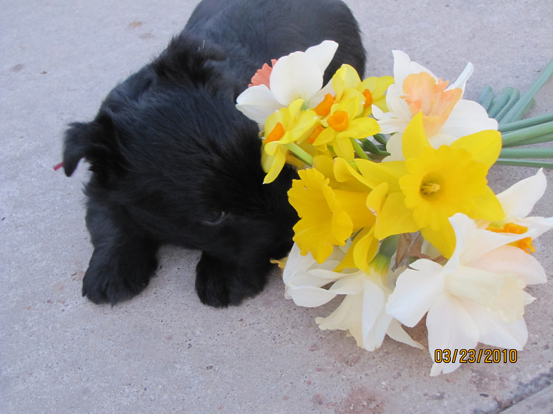 SADIE - (Maroon Collar) with the Daffodils  This one is a real character!!