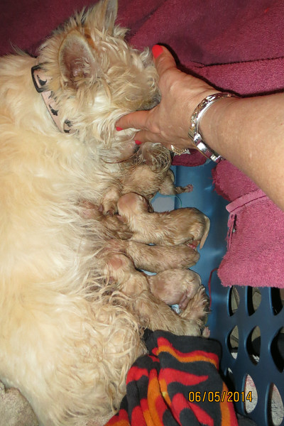 Claire and Charlie announce 6 little perfect Wheaten angels on June 6, 2014