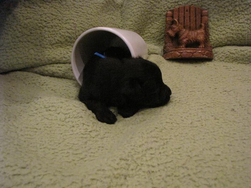 Clyda & Jock's Litter - Born July 14, 2012