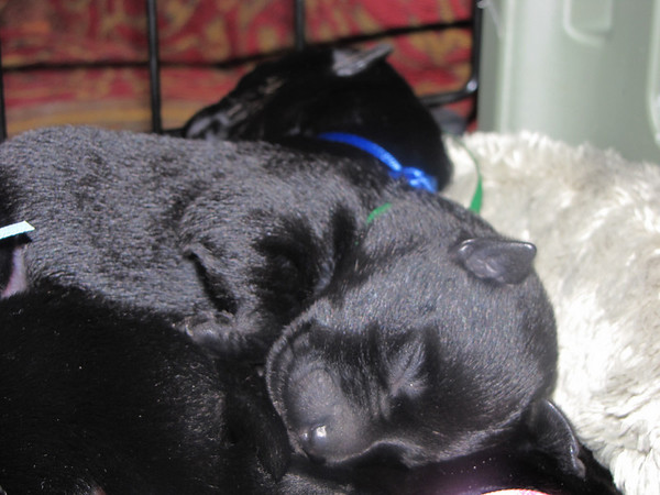 8 sweet Angel Black Scottie babies!! Born to Clyda and Angus on Friday July 17, 2009.<br /> <br /> Picture taken Thursday 7/22/09 at 6 days old!!  <br /> <br /> NEVILLE -Bright Blue/Boy 8 1/4 oz on 7/22/09 (He's the runt!!)