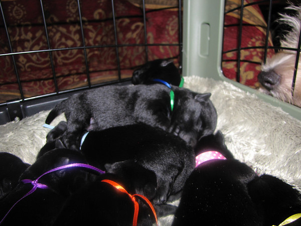 8 sweet Angel Black Scottie babies!! Born to Clyda and Angus on Friday July 17, 2009.<br /> <br /> Picture taken Thursday 7/22/09 at 6 days old!!