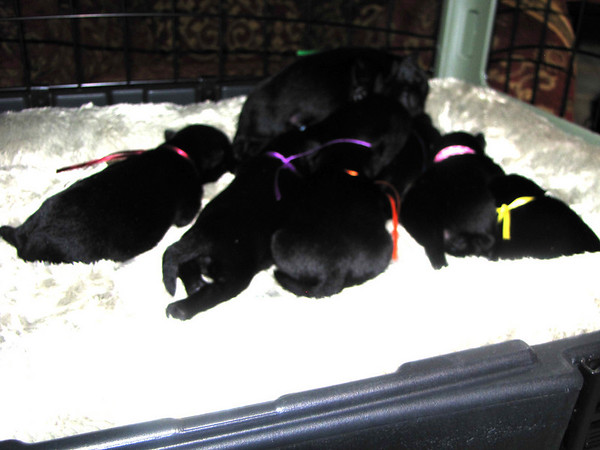 8 sweet Angel Black Scottie babies!! Born to Clyda and Angus on Friday July 17, 2009.<br /> <br /> Picture taken Thursday 7/22/09 at 6 days old!!  <br /> <br /> LUNA - yellow/girl - weighs 9 1/2 oz on 7/22/09<br /> GINNY - Orange/girl - Weighs 9 3/4 oz on 7/22/09 <br /> HERMIONE - Pink/girl - Weighs 9 3/8 oz on 7/22/09<br /> LAVENDER - Purple/girl - Weighs 10 1/2 oz on 7/22/09<br /> <br /> HARRY PAWTER - Green/Boy- Weighs 9 7/8 oz on 7/22/09<br /> DRACO - Light blue/Boy 9 1/8 oz on 7/22/09<br /> NEVILLE -Bright Blue/Boy 8 1/4 oz on 7/22/09 (He's the runt!!)<br /> RON - Maroon/Boy weighs 11 1/2 oz 7/22/09 ( He's the big one!)