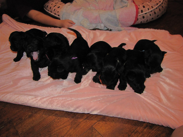 Clyda and Angus's 8 puppies!!! What a bunch of cuties!!! We are enjoying these babies so much!! I bought them a new big playpen where we keep them close to us in the great room all day!!