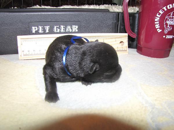 Neville -Bright Blue/Boy 8 1/4 oz on 7/22/09 - He's the runt!!