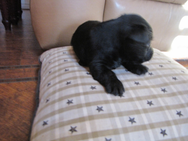 Clyda and Angus's 2nd litter - This is Neville the little runt!!