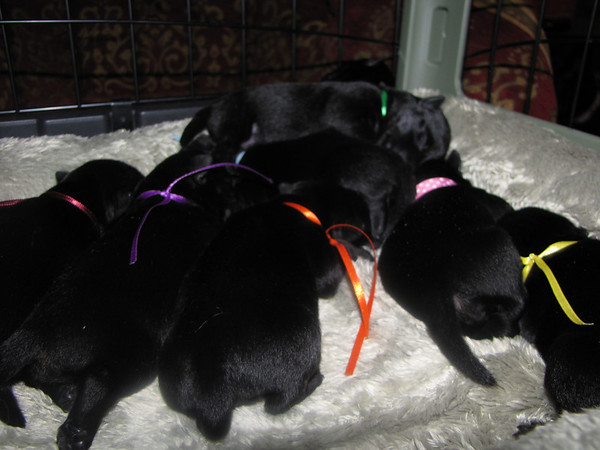 All the 8 sweet babies!! Born to Clyda and Angus on Friday July 17, 2009. <br /> <br /> LUNA - yellow/girl - weighs 9 1/2 oz on 7/22/09<br /> GINNY - Orange/girl - Weighs 9 3/4 oz on 7/22/09 <br /> HERMIONE - Pink/girl - Weighs 9 3/8 oz on 7/22/09<br /> LAVENDER - Purple/girl - Weighs 10 1/2 oz on 7/22/09<br /> <br /> HARRY PAWTER - Green/Boy- Weighs 9 7/8 oz on 7/22/09<br /> DRACO - Light blue/Boy 9 1/8 oz on 7/22/09<br /> NEVILLE -Bright Blue/Boy 8 1/4 oz on 7/22/09 (He's the runt!!)<br /> RON - Maroon/Boy weighs 11 1/2 oz 7/22/09 ( He's the big one!)