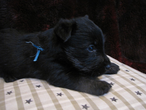 Neville - the runt of the litter! Clyda and Angus's 2nd litter born July 17, 2009<br /> <br /> Neville has a bite taken out of his left ear, I presume Clyda did this when she was removing the sack off of him. I am not sure though.... He is our favorite little boy and is held more than any other!! He travels in the car and does not get car sick!! He will only be $300 - even though this is only a cosmetic thing I know people expect a perfect puppy for full price so Neville is a little less... To Faith and I he is worth extra!!