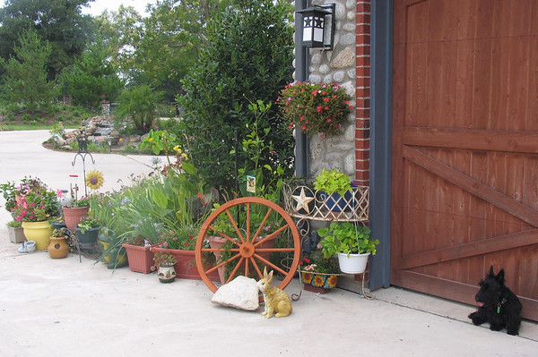 Kelsey by the garage of the main house <br /> <br /> Green Acres Garden - Linda's Bonnie Scots - Princeton Texas