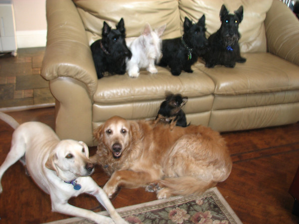 This is a good cross reference of our family of fur-babies. Buster, the Lab I rescued with a bad leg, Our old Golden boy Duke born in 1996 and still very healthy! Angelica (we call Peewee) the long-hair Chihuahua.  And of course, my true love, the SCOTTIES!!! L-R - Belle, Whitney, Kelsey & Max. Green Acres Garden - Linda's Bonnie Scots - Princeton Texas  <div style='width:250px; height:170px; background-color:#e1d2bf; border:solid 1px #095EA9; text-align:center; font-family:Tahoma; font-size:12px; color:#095EA9;'><img src='http://hobbybreeders.canedesign.com/images/logo.gif' width='191' height='132' /><br /><a style='text-decoration:none; color:#095EA9; cursor:default;' href='http://www.hobbybreeders.com/Breeders/'>Dog Breeders</a> | <a style='text-decoration:none; color:#095EA9; cursor:default;' href='http://www.hobbybreeders.com/Puppies/'>Puppies</a> | <a style='text-decoration:none; color:#095EA9; cursor:default;' href='http://www.hobbybreeders.com/Dogs/'>Dogs</a> | <a style='text-decoration:none; color:#095EA9; cursor:default;' href='http://www.hobbybreeders.com/Lost-Found/'>Lost and Found</a> | <a style='text-decoration:none; color:#095EA9; cursor:default;' href='http://www.hobbybreeders.com/Dog-Breeds/'>Dog Breeds</a></div>