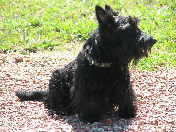 My beautiful Kelsey, she was born here at Green Acres the week we moved into the house in Feb 2003!! She is a compact and gorgeous perfect Scottie lass!! Green Acres Garden - Linda's Bonnie Scots - Princeton Texas