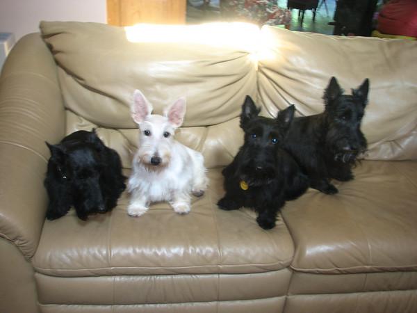 SCOTTIES!!! L-R - Belle, Whitney, Kelsey & Max. Green Acres Garden - Linda's Bonnie Scots - Princeton Texas