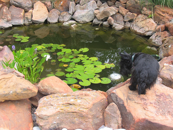 Belle looking for fishies... She is afterall the Quenn of Green Acres!!<br /> <br /> Green Acres Garden - Linda's Bonnie Scots - Princeton Texas