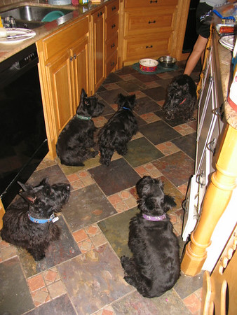 Scotties everywhere!! They love to be in the kitchen when I cook, never know when I might drop a crumb!! It never hits the ground if it is something they like! (no peaches or lettuce though... yuck to Scotties!!)<br /> <br /> Our older girls Suzie, Aggie & Belle are retired now and full time pets with just Belle's daughter Kelsey and our new girl Bonnie to breed. I am looking for another perfect girl to fit in with our family... Also retired is Kelsey's daddy Max!! Don't tell him but he's gotten a bit ... fluffy??? He went from his old svelte twenty two lbs to a rather hefty thirty lbs since he was fixed less than three years ago!!! Green Acres Garden - Linda's Bonnie Scots - Princeton Texas