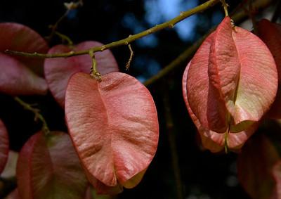 Goldenrain Tree pods closeup