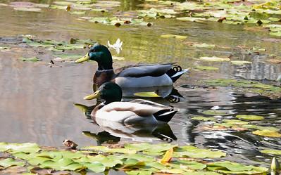 Museum Ducks