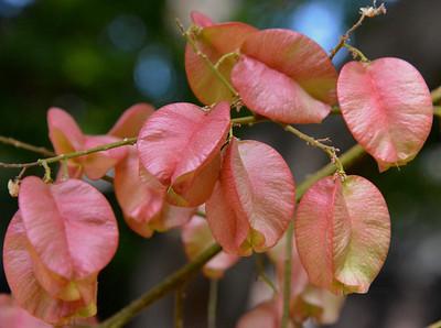 Goldenrain Tree pods
