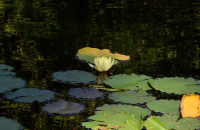 Yellow Flower from the Norton Simon Garden Pond.
