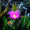 California beach flower