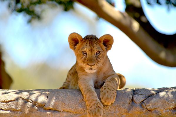Lion Cubs Werribee Zoo Victoria (2017)