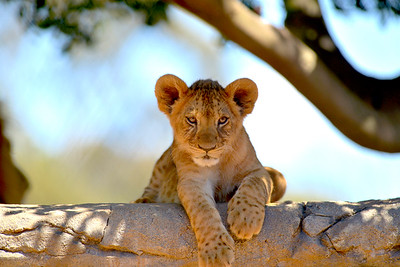 Lion Cubs Werribee Zoo Victoria (2017)