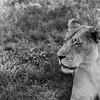 Lion 14