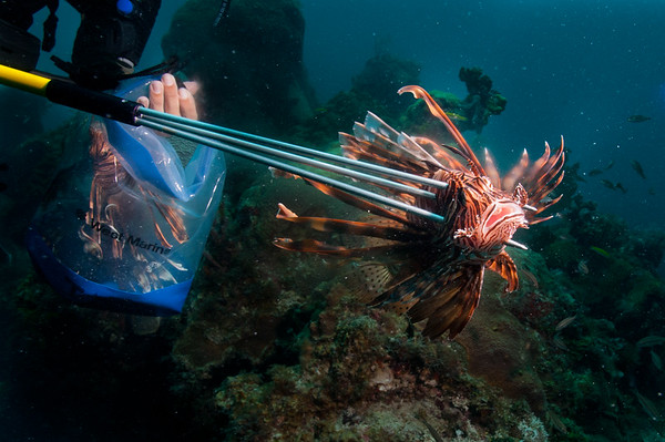 A National Park Service diver removing invasive lionfish (Pterois volitans) in the Dry Tortugas.