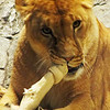 One of the lionesses at the MGM Grand Casino in Las Vegas (2011).