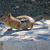 Chipmunk at Mount St Helens.