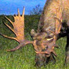 Alaska, 2012. Rack on the moose near Anchorage International Airport.