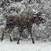 Alaska, 2012. Moose near Portage Glacier.