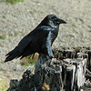 A very black bird at Mount St Helens in Washington state.