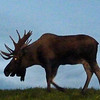Alaska, 2012. Moose near Anchorage International Airport.
