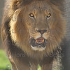 Bakari, an African lion at Lions Tigers & Bears