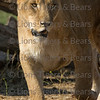 Lioness at Lions Tigers and Bears Photo Workshop in Alpine, California