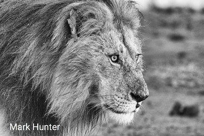 A Monochrome Male Lion