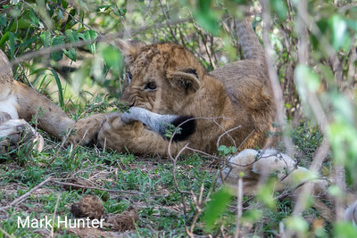 Lion Cub Chewing a Tail