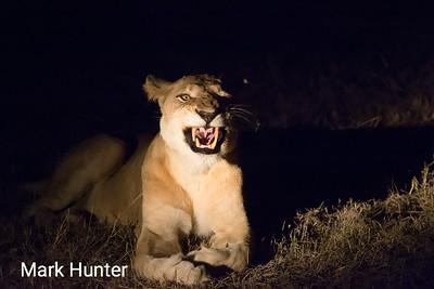 Nightmare Lioness