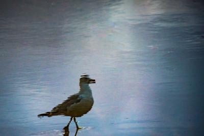 Walking Gull 2