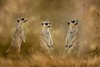 three meerkats composite with textures