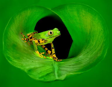 Tiger legged Frog in a Banan Leaf