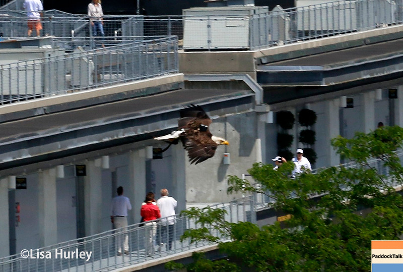 May 29: Challenger, the bald eagle, before the 100th Running of the Indianapolis 500.