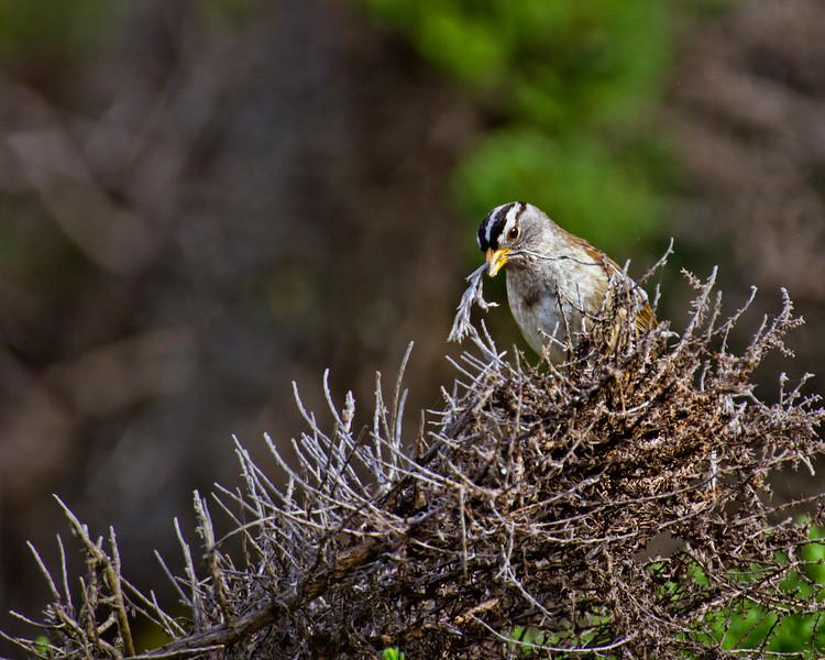 Finch nest making
