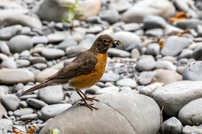 Robin feeding baby slugs - Hoh Rain Forest, Washingtom