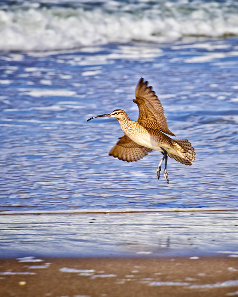 Whimbrel shore bird